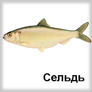 селёдка